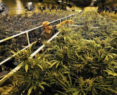 Colorado cannabis grow operation